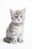 Randig kattunge för grå färger arkivfoton