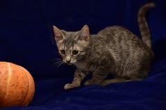 randig kattunge och pumpa Royaltyfri Fotografi