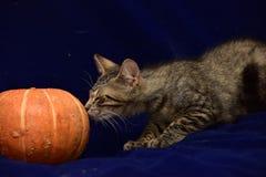 randig kattunge och pumpa Arkivfoton