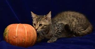 randig kattunge och pumpa Royaltyfria Bilder