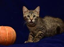 randig kattunge och pumpa Arkivfoto