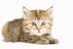 Randig kattunge som håller ögonen på försiktigt den öppna ögonsneda bollen Royaltyfri Foto