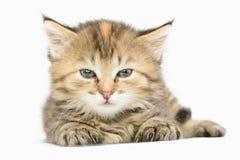 Randig kattunge som håller ögonen på skruvning nära cunningly upp ögon Arkivbilder