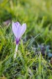 Randig krokus för vit och för lilor Fotografering för Bildbyråer