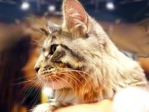 Randig maine tvättbjörnkatt Royaltyfri Foto