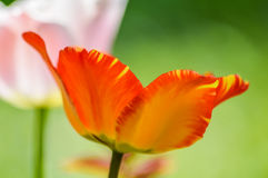 Randig röd och gul tulpanblommaprofil Arkivfoto