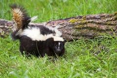 Randig skunk i gräs arkivbilder