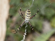 Randig spindel Fotografering för Bildbyråer