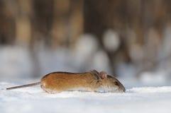 Randig spring för fältmus i snön Royaltyfri Fotografi