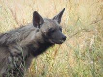 Randig stående för hyena (den Hyaena hyaenaen) Fotografering för Bildbyråer