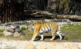 Randig tiger p? zoo arkivfoto