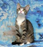 Randig vit ung katt Fotografering för Bildbyråer