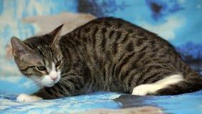 Randig vit ung katt Royaltyfria Foton