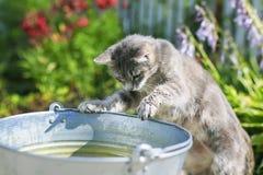 Randiga kattlås i gården i en hink tafsar att plaska för fisk Royaltyfria Bilder