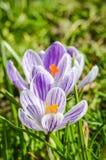 Randiga purpurfärgade och vita krokusar Arkivfoto