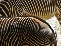 Randiga sebror i zoo i nuremberg i Tyskland arkivfoton