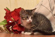 Randiga sockor med den vita kattungen bredvid röd jul blommar royaltyfri bild
