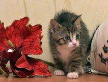 Randiga sockor med den vita kattungen bredvid röd jul blommar royaltyfri foto