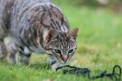 Randiga Tabby Cat Fotografering för Bildbyråer