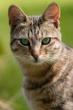 Randiga Tabby Cat Arkivfoton