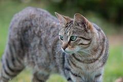 Randiga Tabby Cat Royaltyfri Fotografi