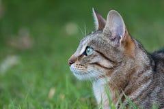 Randiga Tabby Cat Royaltyfri Bild