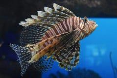 Randiga Turkeyfish i den djupblå havssimningen Arkivfoton