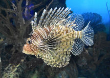 Randiga Zebrafish som fortskrider under vattnet Arkivfoto