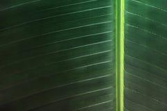 Randigt bananblad för gräsplan för abstrakt bakgrund Arkivbild