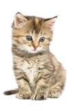 Randigt kattungesammanträde Arkivfoto