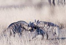 Randigt leka för hyenas arkivfoto