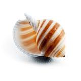 Randigt spiralt snäckskal. Royaltyfri Foto