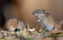 Randigt trevligt posera för fältmöss tillsammans i bladavskräde royaltyfria foton