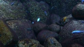 Randigt undervattens- liv för cichlidfiskar lager videofilmer