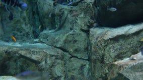 Randigt undervattens- liv för cichlidfiskar stock video