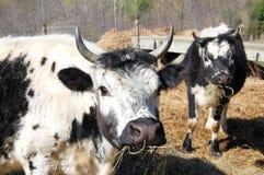 Randolph cows Stock Image
