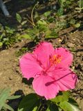 Random clicks. Favorite flower of devi durga Stock Photography