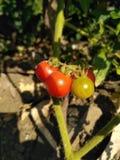 Random clicks. Small tomato palnt royalty free stock photo