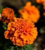 Marigold orange flower and close up photography. Macro. Photo of a Marigold orange flowers with shallow depth of field. Daisy meadow field Royalty Free Stock Photo
