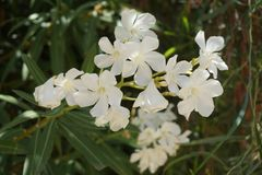White Spanish Flowers Stock Images