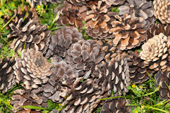 Random Pine Cones Stock Images