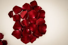 Random rose petals against white background. Great for presentat Stock Images