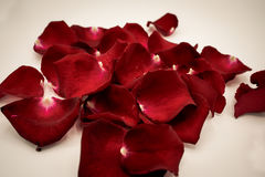 Random rose petals against white background. Great for presentat Stock Photography