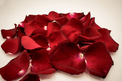 Random rose petals against white background. Great for presentat royalty free stock photo