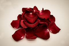 Random rose petals against white background. Great for presentat. Ions, forms and ad print Royalty Free Stock Photography