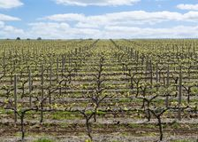 Random Vineyard, Barossa Valley, South Australia. Random vineyard, filled with newly sprouting grape vines. Found in the tourism district of Barossa Valley stock image