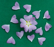 Randomly scattered pink flower petals on a green velvet. Top view Royalty Free Stock Photo