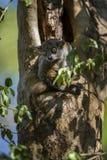 Randrianasolo`s sportive lemur - Lepilemur randrianasoloi. Dry forest, Tsingy in Madagascar west coast. Nocturnal cute lemur hidden in the tree Royalty Free Stock Photo