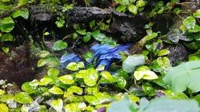 Rane blu avvelenate su una foresta bagnata della roccia archivi video
