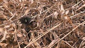 Rane di allevamento in primavera nella palude video d archivio